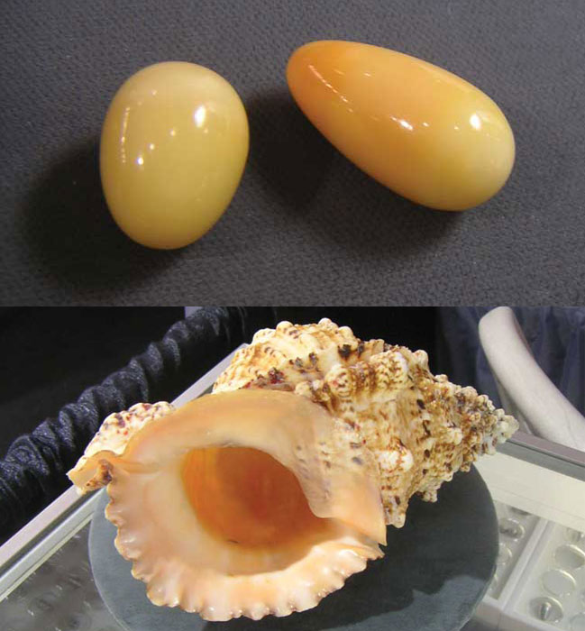 Figure 3 (top): Two pearls from Tutufa bubo (38 and 31 carats, respectively); Figure 4 (bottom): Shell of the Tutufa bubo. Photos courtesy Rankins family